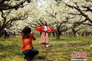 """江苏丰县大沙河畔10万亩梨花盛开 游客尽享""""香雪海"""""""